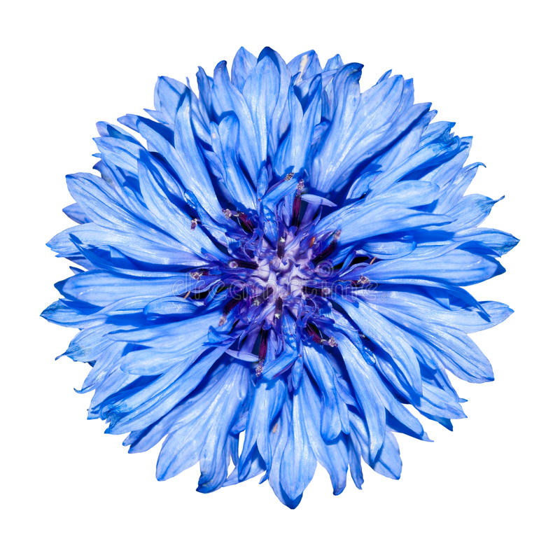 Cabeça de flor azul do Cornflower - cyanus do Centaurea fotografia de stock royalty free