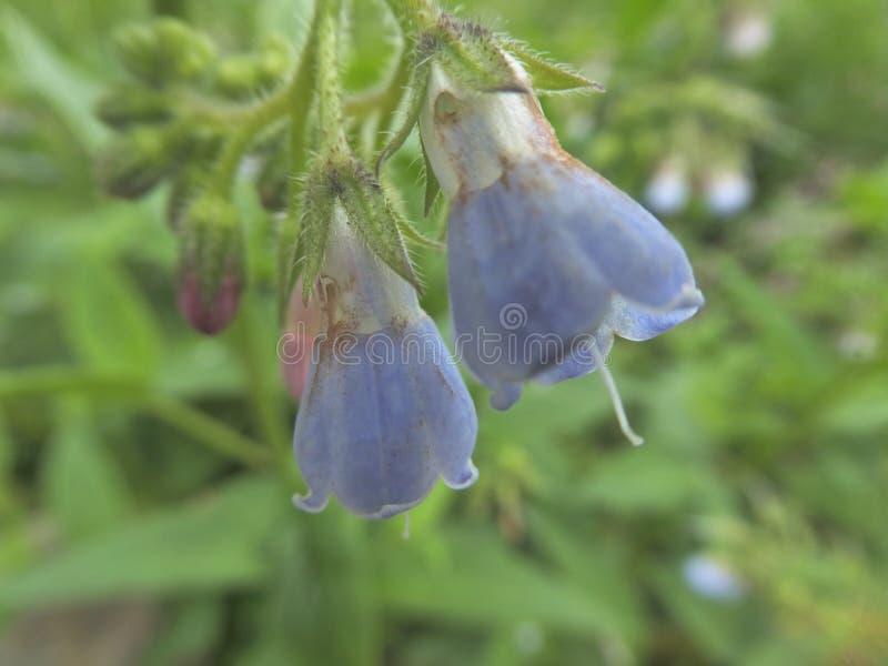 Cabeça de flor azul do nightshade mortal com folha verde imagens de stock