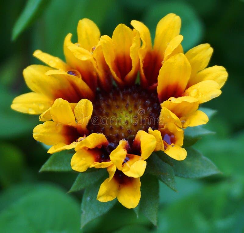 A cabeça de flor colorida bonita com gotas da água nas pétalas fecha-se acima fotografia de stock