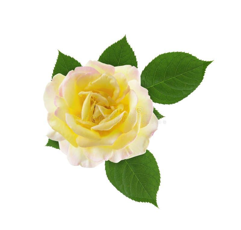Cabeça de flor cor-de-rosa leve amarela com as folhas verdes isoladas no fundo branco fotografia de stock royalty free