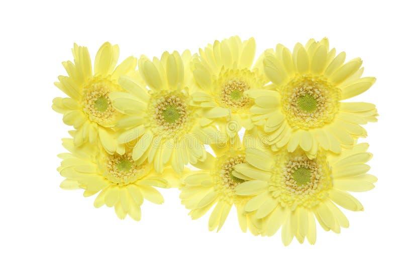 Cabeça de flor da margarida de transvaal em um fundo branco foto de stock royalty free