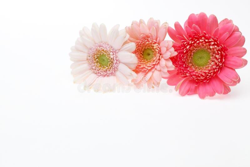 Cabeça de flor da margarida de transvaal em um fundo branco fotos de stock royalty free