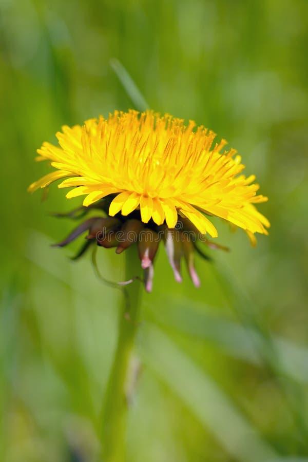 Cabeça de flor do dente-de-leão (officinale do taraxacum) foto de stock royalty free