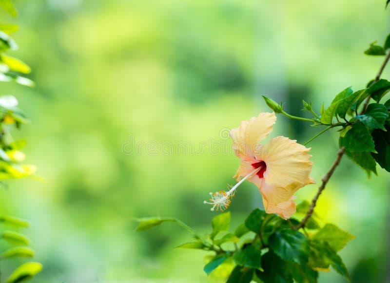 A cabeça de flor do hibiscus do pêssego no verde borrou o fundo imagem de stock