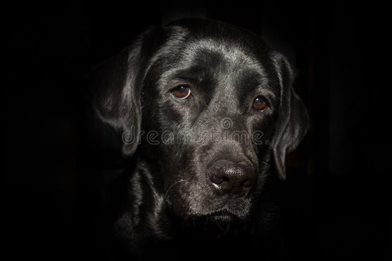 Cabeça de labrador retriever preto no fundo preto imagem de stock