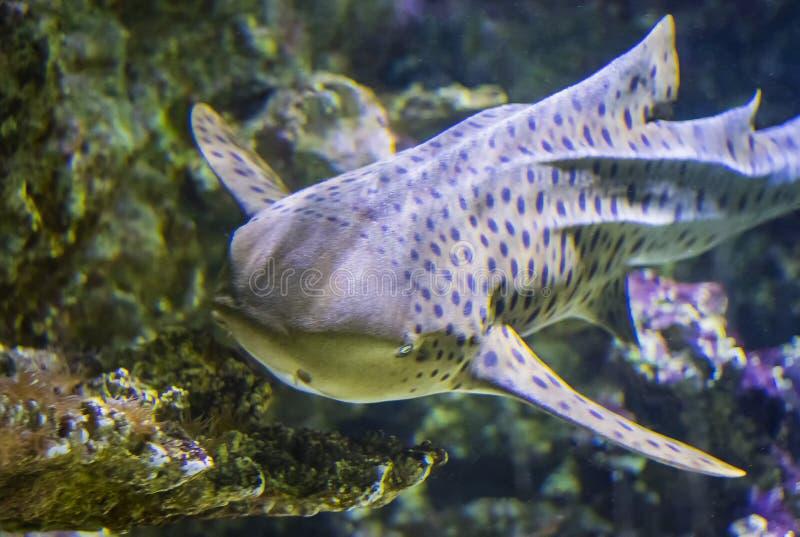 A cabeça de nadadas do tubarão da zebra em um recife de corais no Oceano Índico imagem de stock royalty free