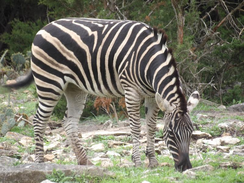 Cabeça de pastar a zebra fotografia de stock royalty free