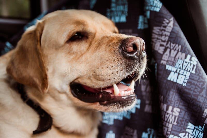Cabeça de um cão da raça de Labrador fotografia de stock