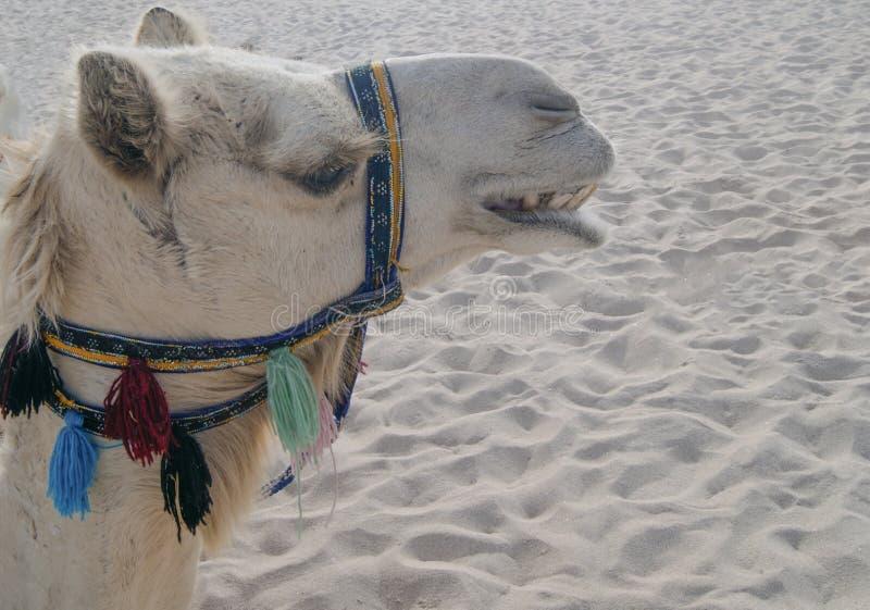 Cabeça de um camelo no deserto imagem de stock