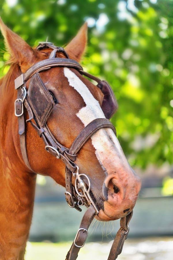 A cabeça de um cavalo de baía com um freio e de antolhos nos olhos foto de stock