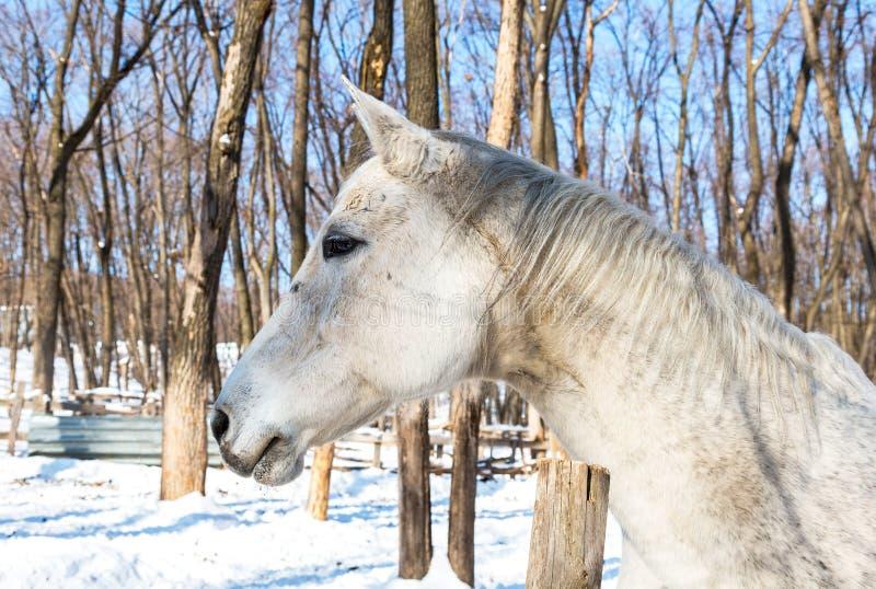 Cabeça de um cavalo branco bonito na exploração agrícola no inverno foto de stock royalty free
