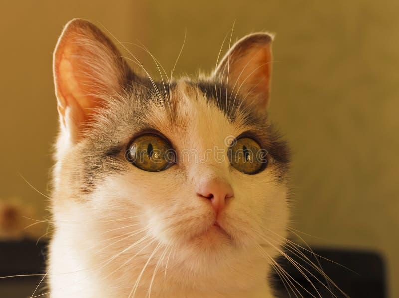 A cabeça de um gato com os grandes olhos curiosos foto de stock royalty free