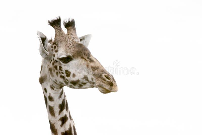 Cabeça de um giraffe fotos de stock
