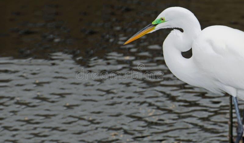 A cabeça de um grande egret branco que caça em um rio durante a estação de acoplamento fotografia de stock
