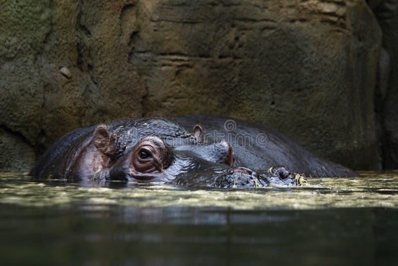 Cabeça de um hipopótamo em uma água imagem de stock