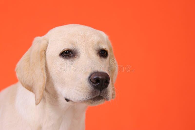 Cabeça de um Labrador novo fotografia de stock