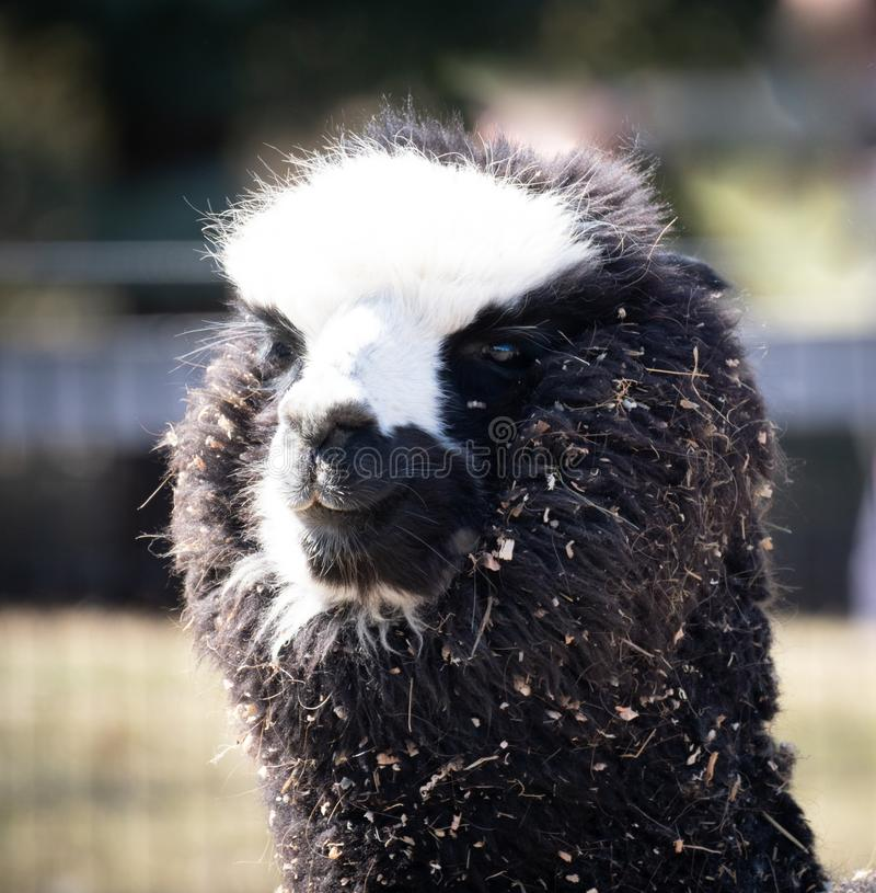 Cabeça de um lama desarrumado da alpaca imagens de stock royalty free