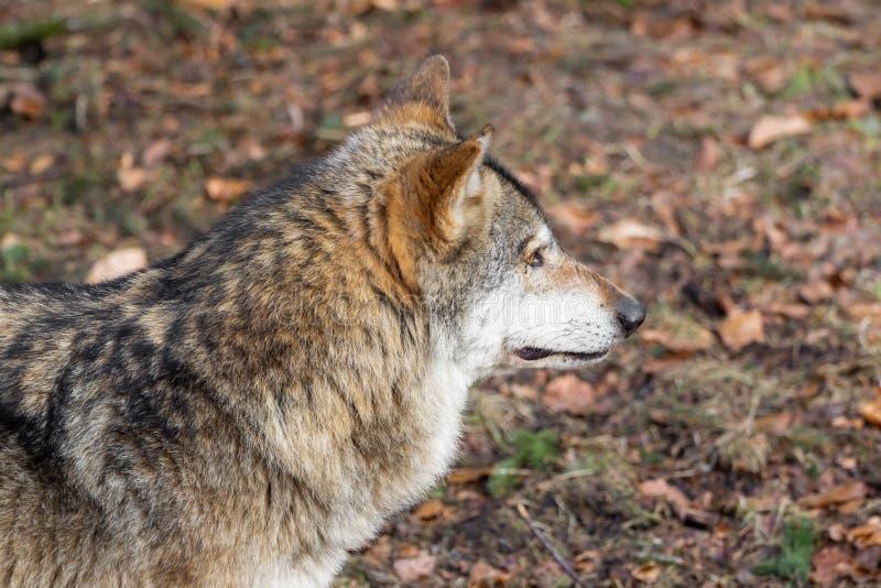 A cabeça de um lobo do lado fotos de stock