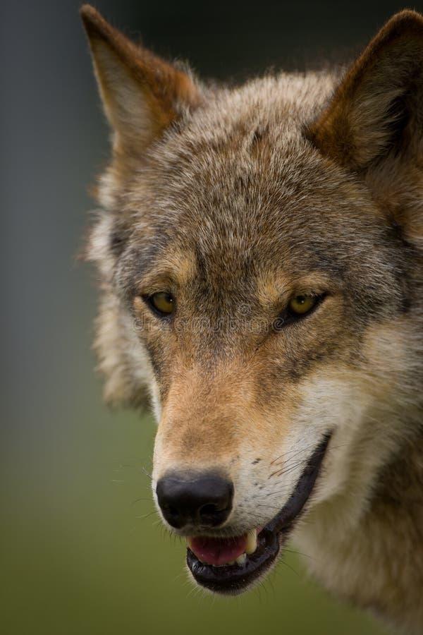 A cabeça de um lobo europeu foto de stock royalty free