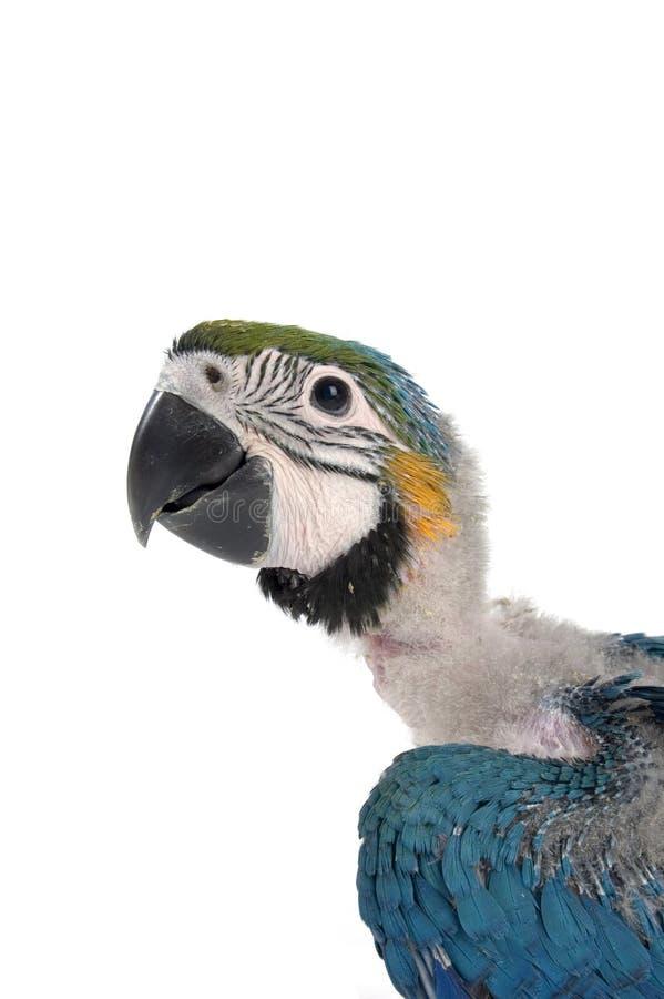 Cabeça de um macaw do bebê foto de stock royalty free