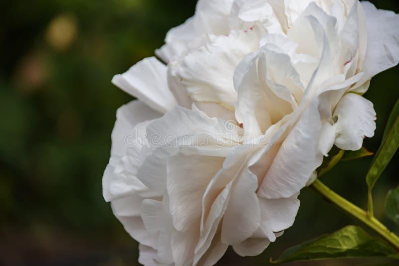 Cabeça de um pálido - close-up cor-de-rosa da flor da peônia imagem de stock royalty free