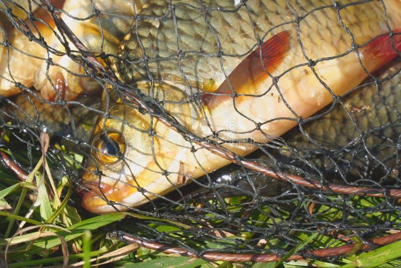 Cabeça de um peixe com as aletas vermelhas na gaiola foto de stock royalty free