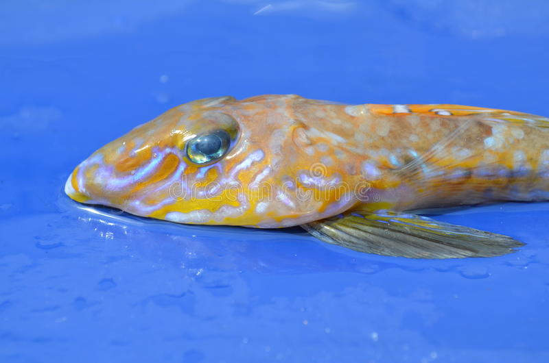 Cabeça de um peixe comum de Dragonet, lyra de Callionymus imagens de stock