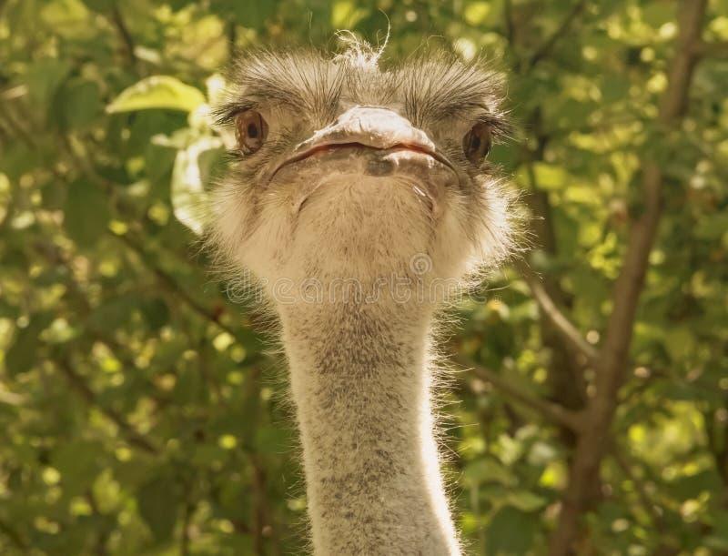 A cabeça de uma completo-cara engraçada da avestruz, olhando em linha reta na câmera imagens de stock royalty free