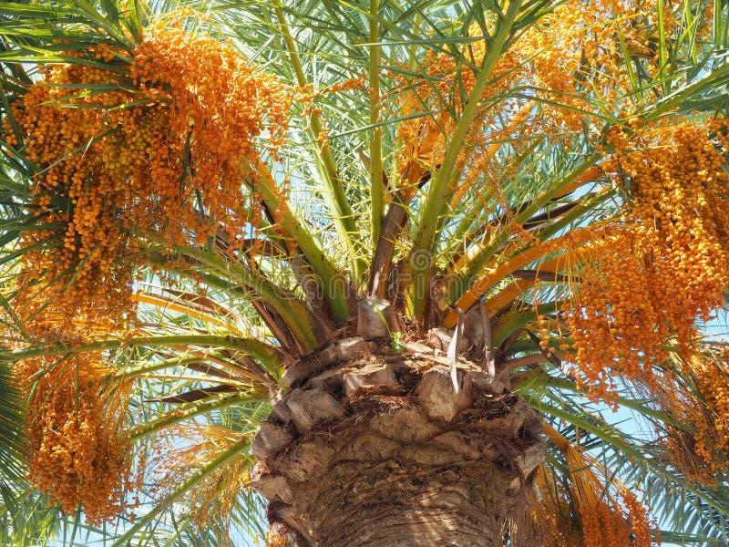 Cabeça de uma palma de data tropical imagem de stock
