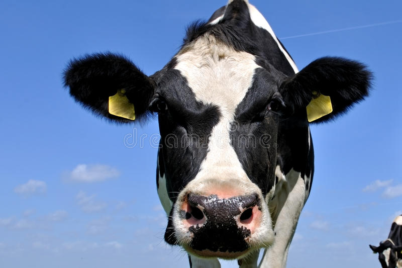 Cabeça de uma vaca fotografia de stock royalty free