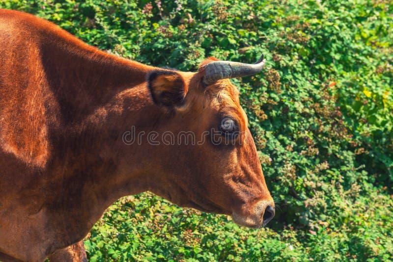 Cabeça de uma vaca vermelha imagens de stock