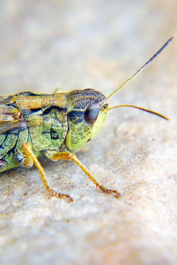 Cabeça de uns locustídeo um close up Invas?o dos locust?deo fotos de stock royalty free