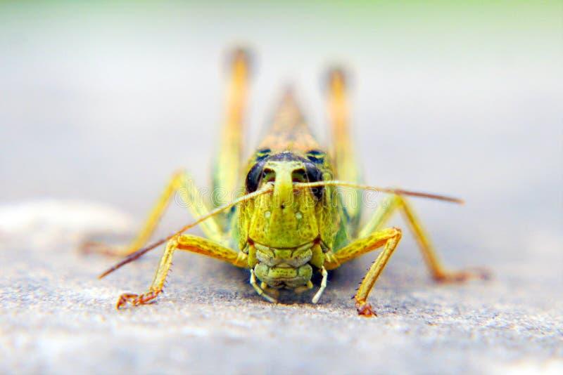Cabeça de uns locustídeo um close up Invas?o dos locust?deo imagens de stock