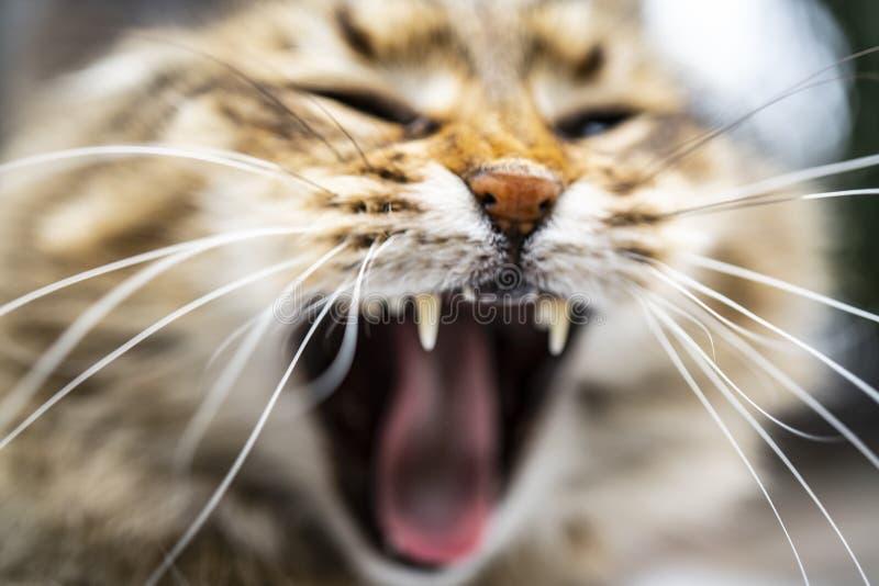 Cabeça disparada do gato malhado vermelho de bocejo com o gatinho branco de Maine Coon fotos de stock royalty free