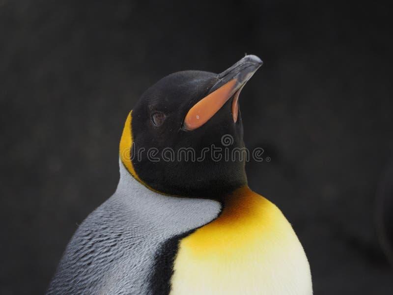 A cabeça disparou de um único pinguim de imperador imagem de stock royalty free
