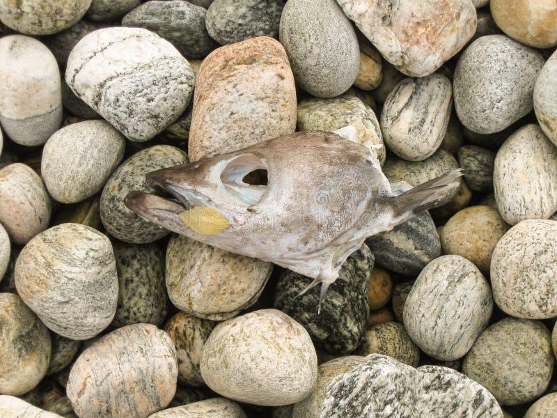 Cabeça do bacalhau inoperante nas pedras das consequências da costa de mar da poluição do mar Polui??o ambiental Problemas ecol?g fotografia de stock