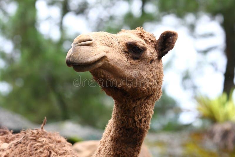 Cabeça do camelo imagens de stock