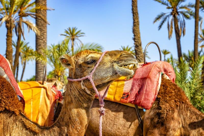 A cabeça do camelo em um Palmeraie perto de C4marraquexe, Marrocos O deserto de sahara é situado em África Dromedars está ficando foto de stock