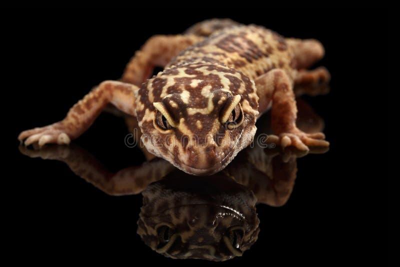 Cabeça do close up do macularius de Eublepharis do geco do leopardo isolada no preto fotos de stock