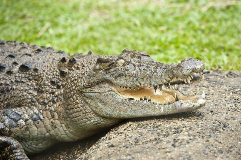 A cabeça do crocodilo enorme com dentes pontudo, mouth largamente aberto fotografia de stock