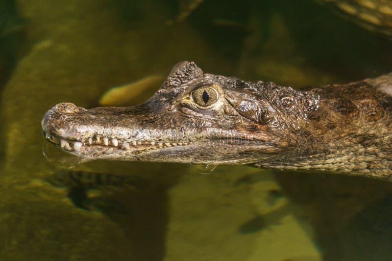 Cabeça do crocodilus do caimão do caimão de óculos na água foto de stock royalty free