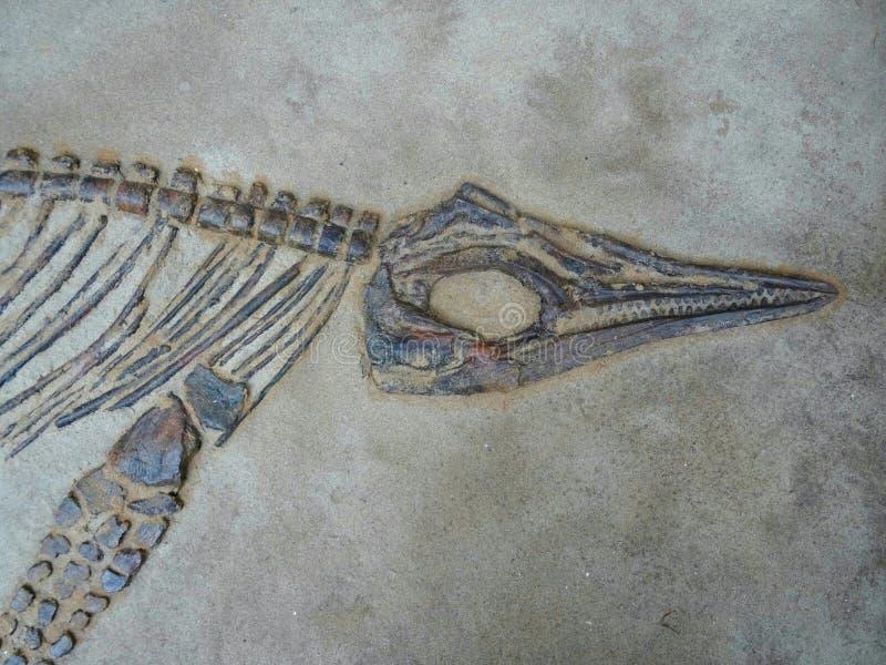 Cabeça do dinossauro, corpo e fóssil do pé fotos de stock