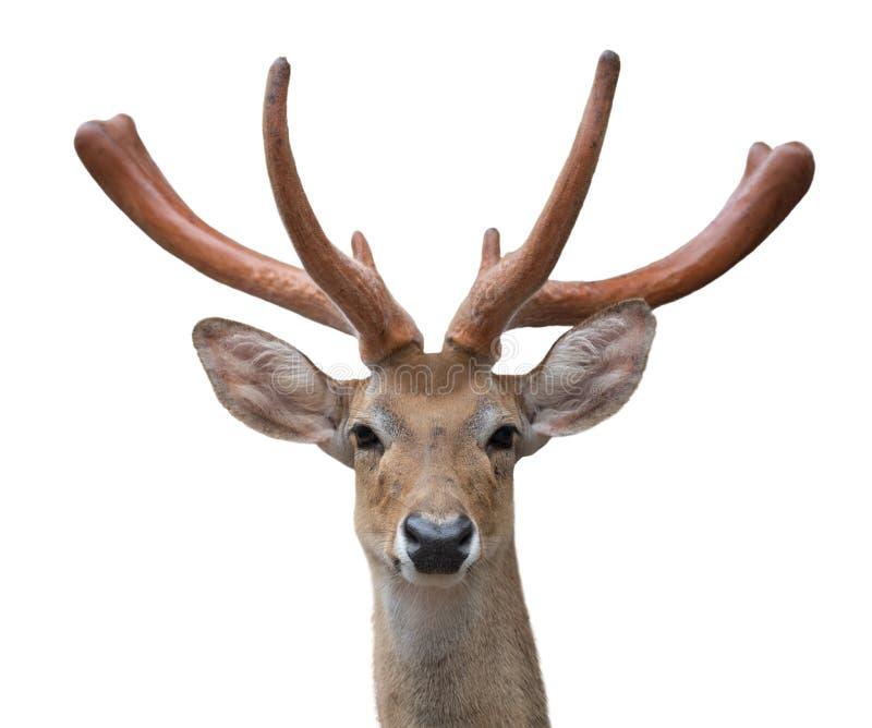 Cabeça do eldi de Rucervus dos cervos de Eld isolada imagens de stock royalty free