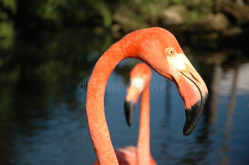 Cabeça do flamingo imagem de stock royalty free