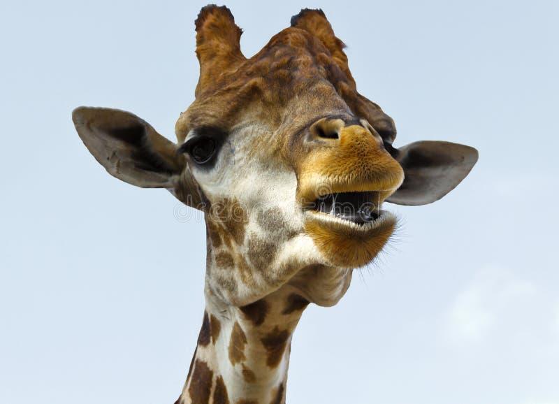 A cabeça do girafa com uma boca aberta imagem de stock royalty free
