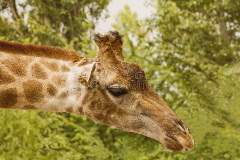Cabeça do girafa em um pescoço longo Contra a folha verde foto de stock royalty free