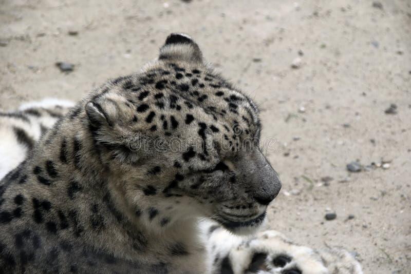 A cabeça do grande leopardo branco fotografia de stock royalty free