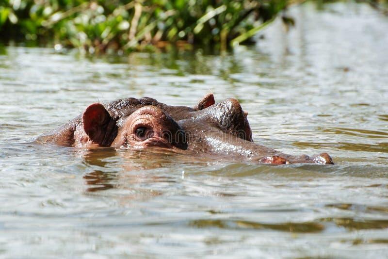 Cabeça do hipopótamo em uma água fotografia de stock