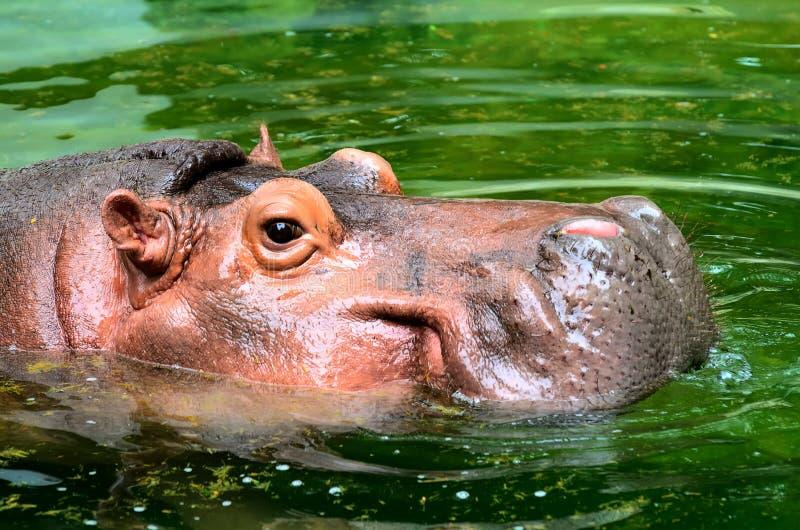 A cabeça do hipopótamo na água imagens de stock royalty free