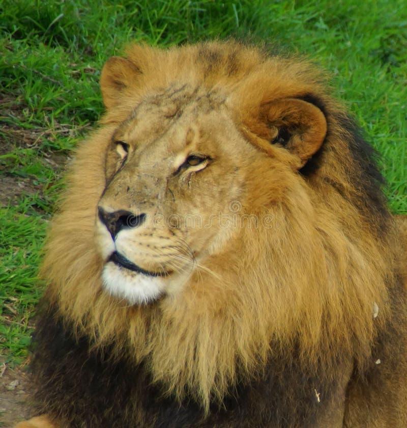 Cabeça do leão - retrato foto de stock